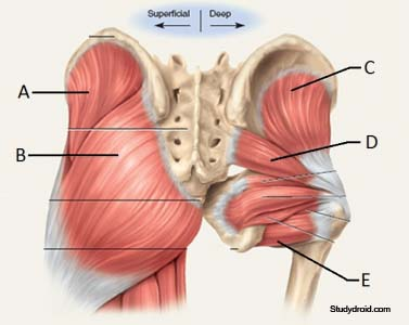 Muscles of the buttocks anatomy
